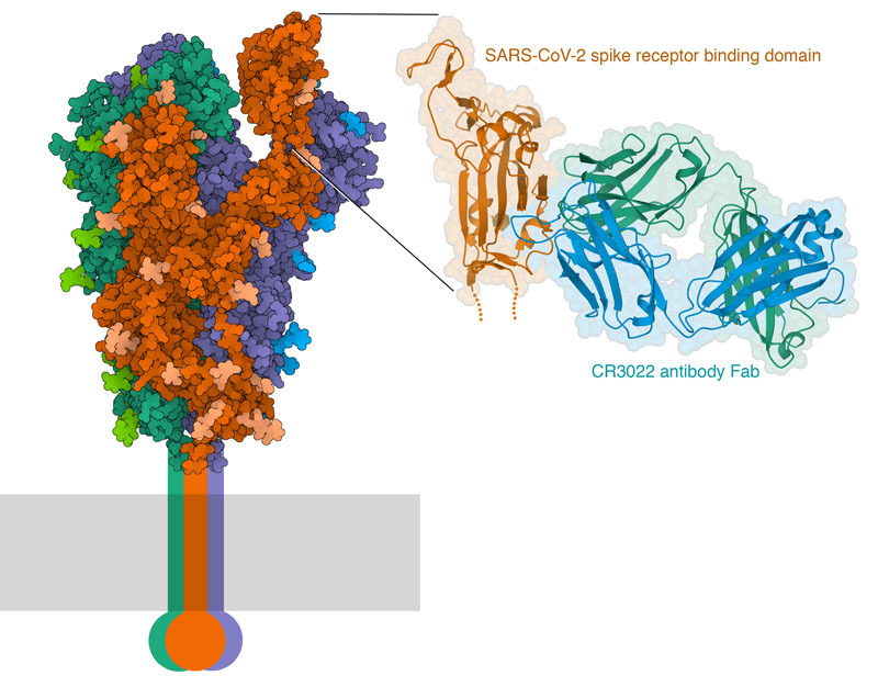 "<a href=""http://pdb101.rcsb.org/learn/resources-to-fight-the-covid-19-pandemic/passive-immunization-with-convalescent-antibodies"">SARS-CoV-II spike protein (left) and a close-up of the interaction of the spike receptor binding domain with an antibody Fab.</a>"
