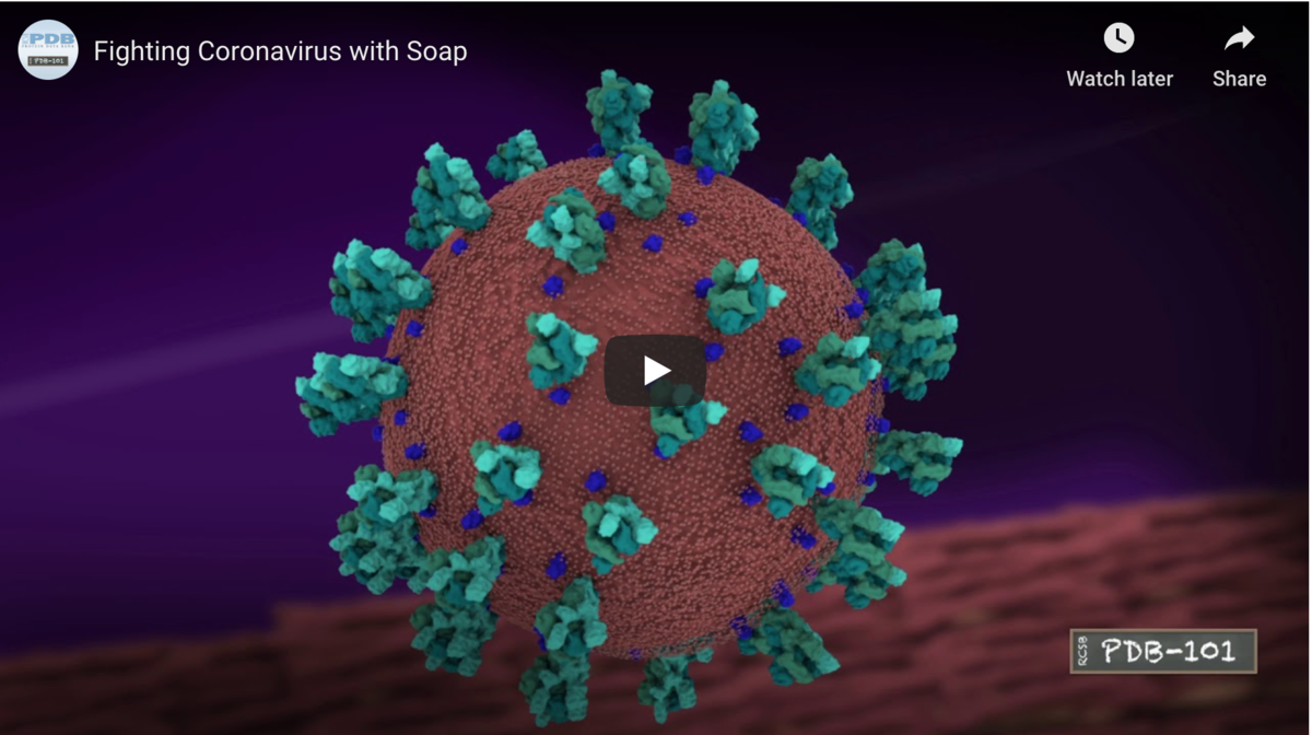 "Always use soap when you wash your hands! Soap molecules break up the outer layer of enveloped viruses, stopping infection. <a href=""https://pdb101.rcsb.org/learn/videos/fighting-coronavirus-with-soap"">Watch at the molecular level how soap breaks up coronavirus by using series of hydrophilic and hydrophobic interactions.</a>"