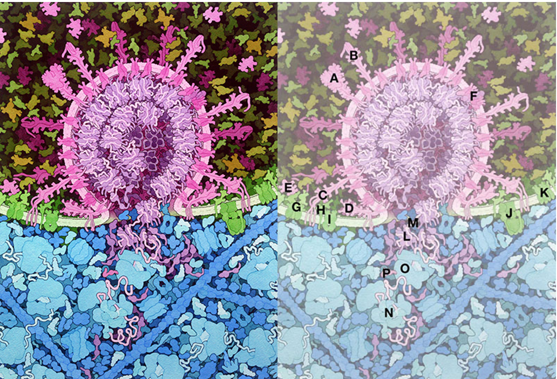 Illustration by David S. Goodsell, RCSB Protein Data Bank; doi: 10.2210/rcsb_pdb/goodsell-gallery-026
