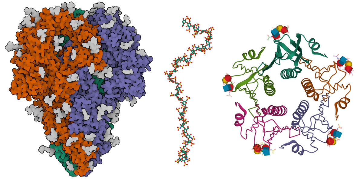 """Figure 2. Examples of carbohydrates in the PDB: the coronavirus spike protein (left; 7kip) with many sites of glycosylation in gray; a fragment of heparin (center; 3irl), shown with a ball-and-stick representation; and cholera toxin bound to a small fragment of O-type blood glycans (right, 5elb), with the glycans shown using SNFG representation.  <a href=""""https://pdb101.rcsb.org/learn/guide-to-understanding-pdb-data/exploring-carbohydrates-in-the-pdb-archive"""">More on carbohydrates at PDB-101.</a>"""