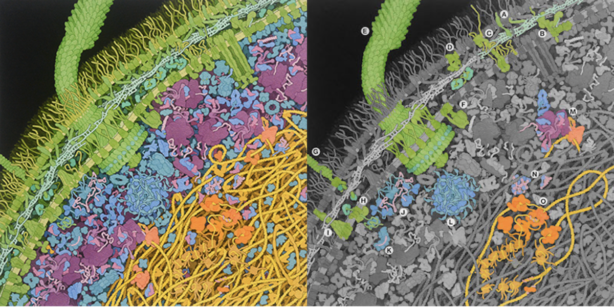 "<a href=""http://pdb101.rcsb.org/sci-art/goodsell-gallery/escherichia-coli-bacterium"">Illustration by David S. Goodsell, RCSB Protein Data Bank doi: 10.2210/rcsb_pdb/goodsell-gallery-028</a>"