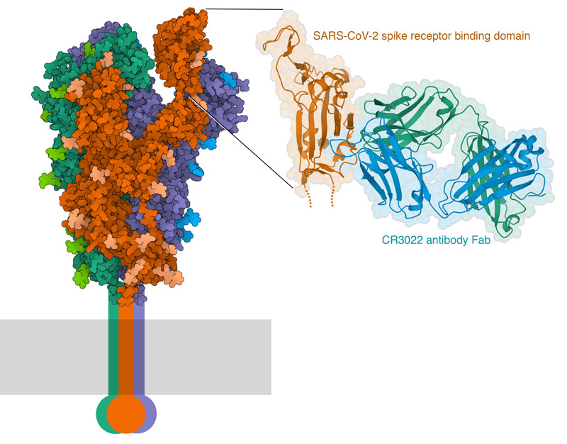 SARS-CoV-II spike protein (left) and a close-up of the interaction of the spike receptor binding domain with an antibody Fab.