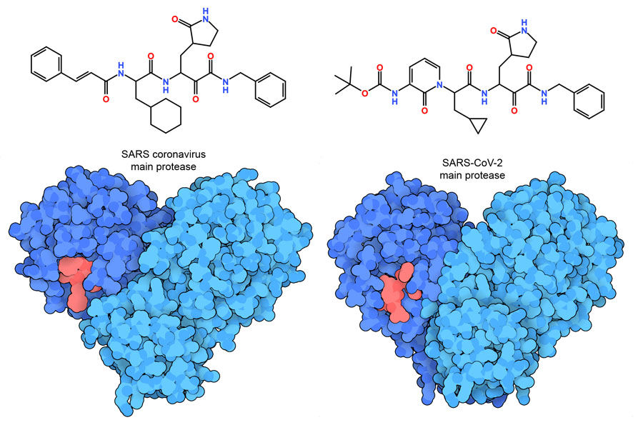 Ketoamide inhibitors bound to SARS main protease (left) and SARS-CoV-2 main protease (right). The inhibitors are shown in red.