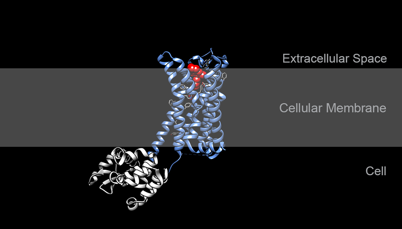 Dopamine receptor in complex with risperidone