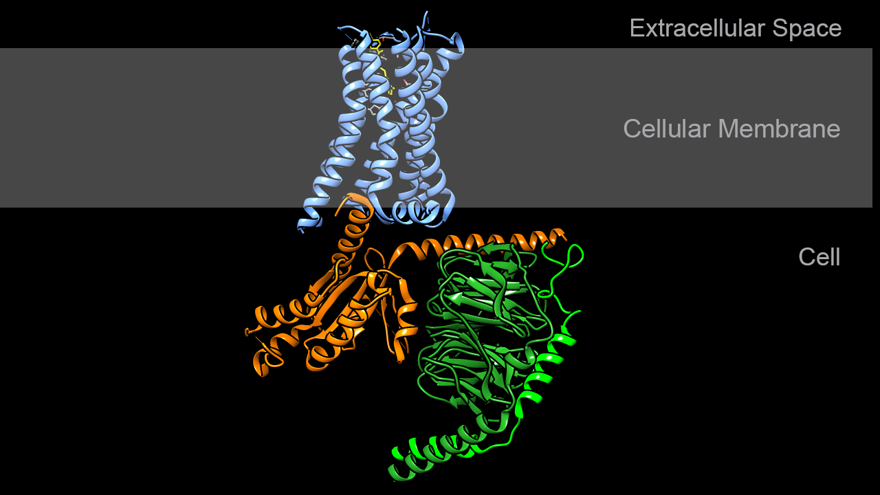 Serotonin receptor in complex with G-protein