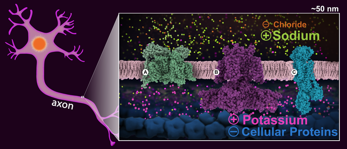 View of resting potential with relevant signaling proteins highlighted