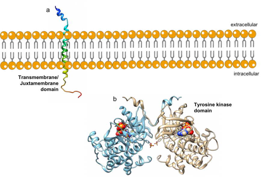 steps of how insulin binds to cells