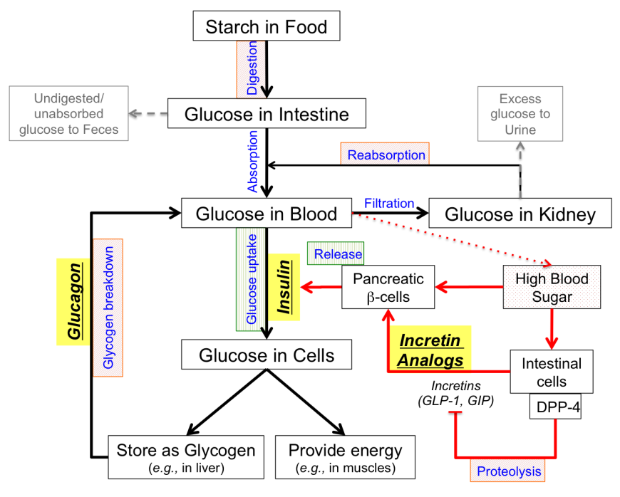 Pdb 101 global health diabetes mellitus managing pharmacological figure 1 glucose homeostasis concept map showing strategies for treating type 2 diabetes the red arrows indicate how an individual would respond to high ccuart Images