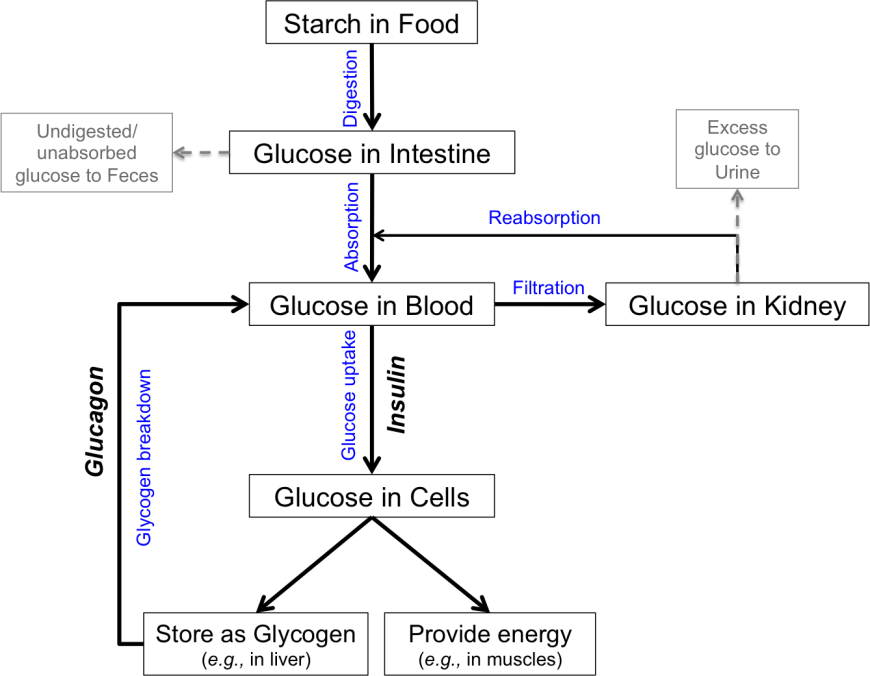 glucose metabolism interference by carbon disulfide All it says is glucose and oxygen are turned into carbon dioxide and water releasing energy if you still don't understand this, just pretend that you are a parrot and memorise it the second one is a balanced chemical equation.