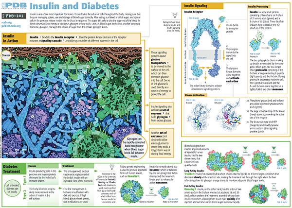 Insulin pdb