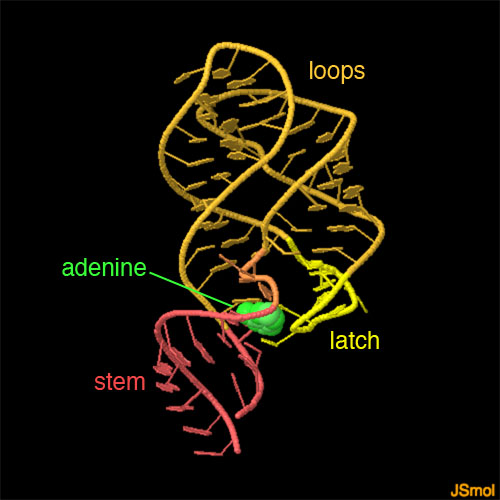 PDB-101: Molecule Of The Month: Adenine Riboswitch In Action