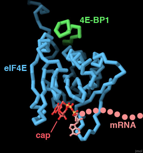 PDB-101: Molecule Of The Month: Initiation Factor EIF4E