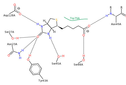 PoseView for Biotin bound to Streptavidin